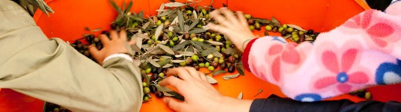 Raccolta olive 2015