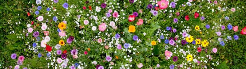 fiori dimentiati